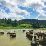 A herd of Elephant. © Rajiv Perera