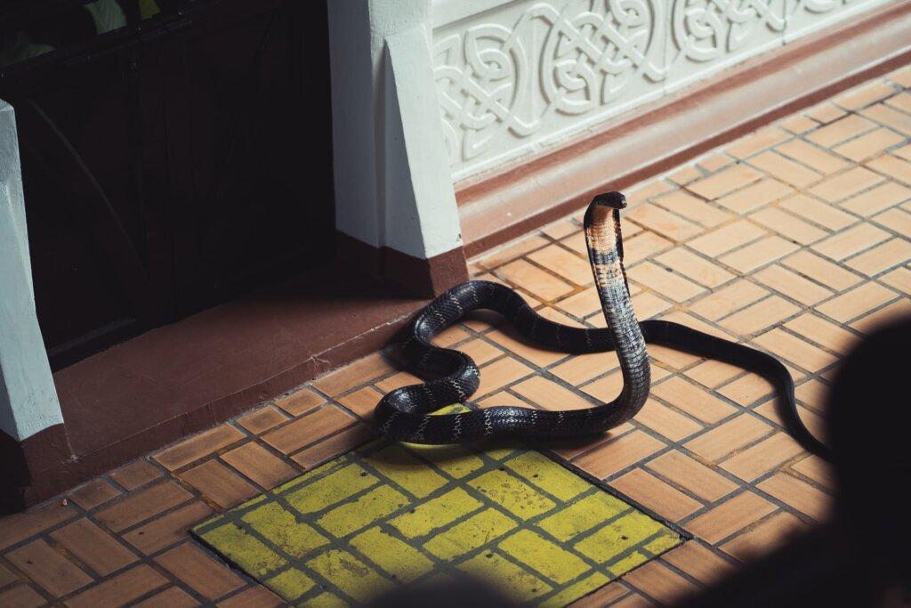 A cobra on your doorstep may be your ancestor. © Hendrik Schlott