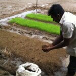 Renaissance Sri Lanka is proud to build Sri Lanka's future ecosystems, with our partner GREENFEM Greenfem Ecological Farming Training Center teaches farmers how to grow organic paddy.